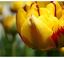 *** BEAUTIFUL EYES ~ YELLOW RED TULIP*** Photographic Print