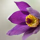 ***  SPRING GLADNESS ~ CROCUS PASQUEFLOWER*** by JETAdamson