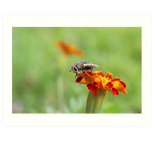 Fly in the Marigolds - Daily Homework - Day 21 - May 28, 2012 Art Print
