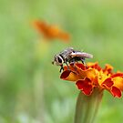 Fly in the Marigolds - Daily Homework - Day 21 - May 28, 2012 by aprilann