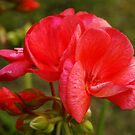 *** TRUE FRIENDSHIP ~ SALMON GERANIUM ***  by JETAdamson