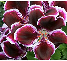 *** ROYAL RED-VELVET ~ PELARGONIUM *** Photographic Print
