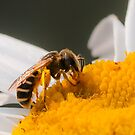 Bee on a Daisy by J. Day