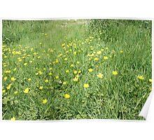 Buttercups Poster