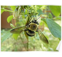 Bumblebee On Blueberry Flower Poster