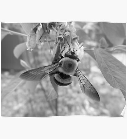 Bumble Bee on Blueberry Flower Poster