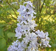 Lilac Flower In Spring by ack1128