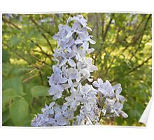 Lilac Flower In Spring Poster