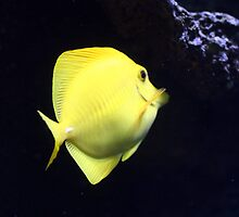 Yellow Tang by Paul Dean