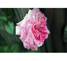 Rose Closeup Photographic Print