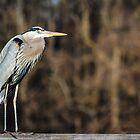 Great Blue Heron by Kenneth Keifer