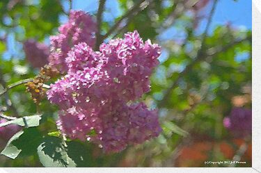 Lilacs by Jeff Pierson