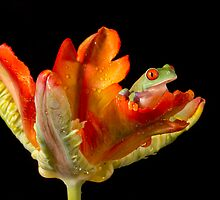 Red eyed tree frog baby by Angi Wallace