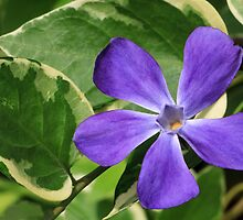 Vinca Major Flower and Variegated Foliage by Kenneth Keifer