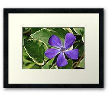Vinca Major Flower and Variegated Foliage Framed Print