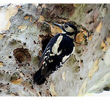 Great Spotted Woodpecker Photographic Print