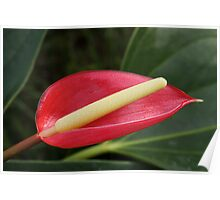 Single Pink Anthurium Flower Poster