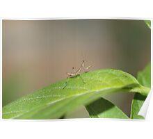 tiny mantis  Poster