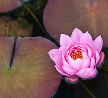 Pink Water Lily by Ellen McKnight