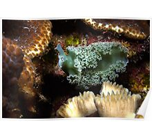 Lettuce Nudibranch Poster