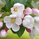 Crabapple Blossoms by Ellen McKnight