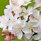 Crabapple Blossoms by Ellen McKnight