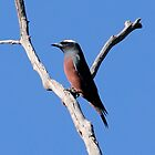 White-browed Woodswallow (male) by mosaicavenues