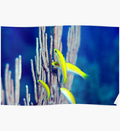 Canary Wrasse Poster