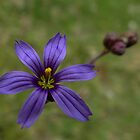Blue-eyed Grass by Digitalbcon
