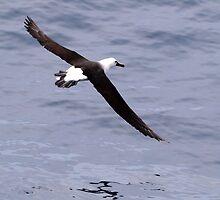 Albatross by geophotographic