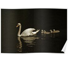 Timeless Swan And Cygnets Poster