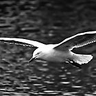 Seagull in full flight by bluetaipan
