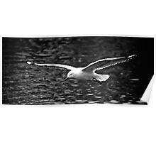 Seagull in full flight Poster