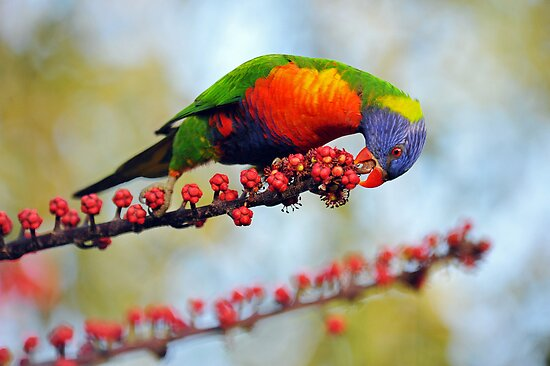 Rainbow Lorikeet. Cedar Creek, Queensland, Australia. by Ralph de Zilva