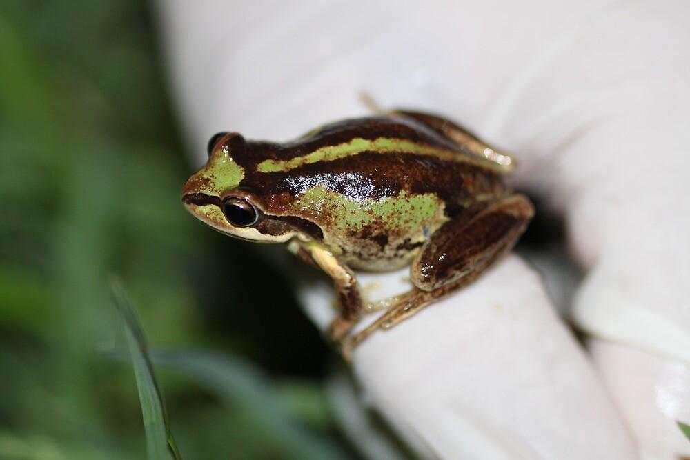 Southern Brown Tree Frog by EnviroKey