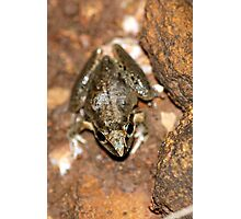 Broad-palmed Rocket Frog Photographic Print