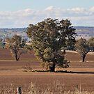 Sown  Farmland Grenfell nsw by julie anne  grattan