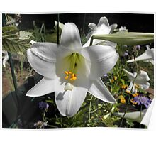 Easter Lilly In Garden Poster