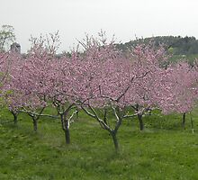 Field of Apple Blossoms by Xennifer