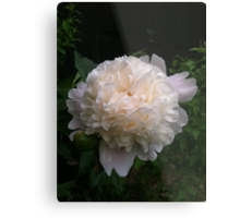 First peony this summer Metal Print