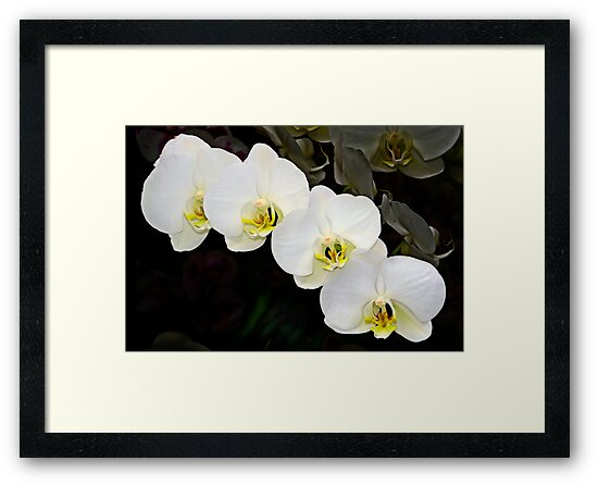 White Orchids by cclaude