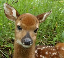 Newborn Whitetail Fawn 2012 by Molly  Kinsey