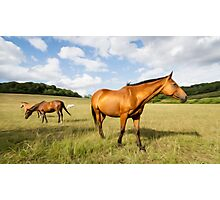 Light Bay Horse Photographic Print