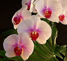 ***DELICATE GRACE ~ ORCHID PHALAENOPSIS*** by JETAdamson