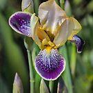 Iris by PhotosByHealy