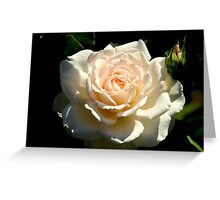 Roses - Pure Innocence Greeting Card