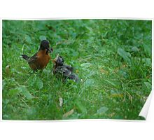 Feeding Baby Robin Poster