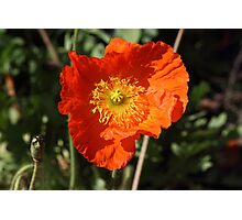 Welsh Poppy (Orange) Photographic Print