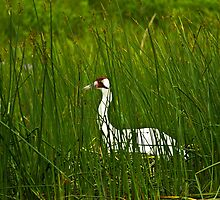 Nesting Whooping Crane by Tim Denny