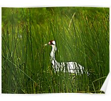 Nesting Whooping Crane Poster